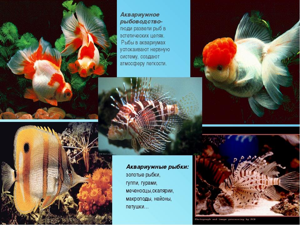 Аквариумное рыбоводство- люди развели рыб в эстетических целях. Рыбы в аквари...
