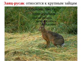 Заяц-русак относится к крупным зайцам