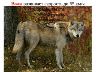 Волк развивает скорость до 65 км/ч