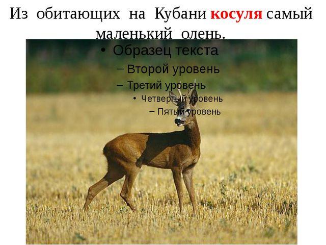 Из обитающих на Кубани косуля самый маленький олень.