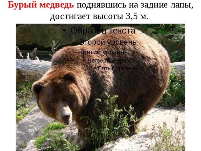Бурый медведь поднявшись на задние лапы, достигает высоты 3,5 м.