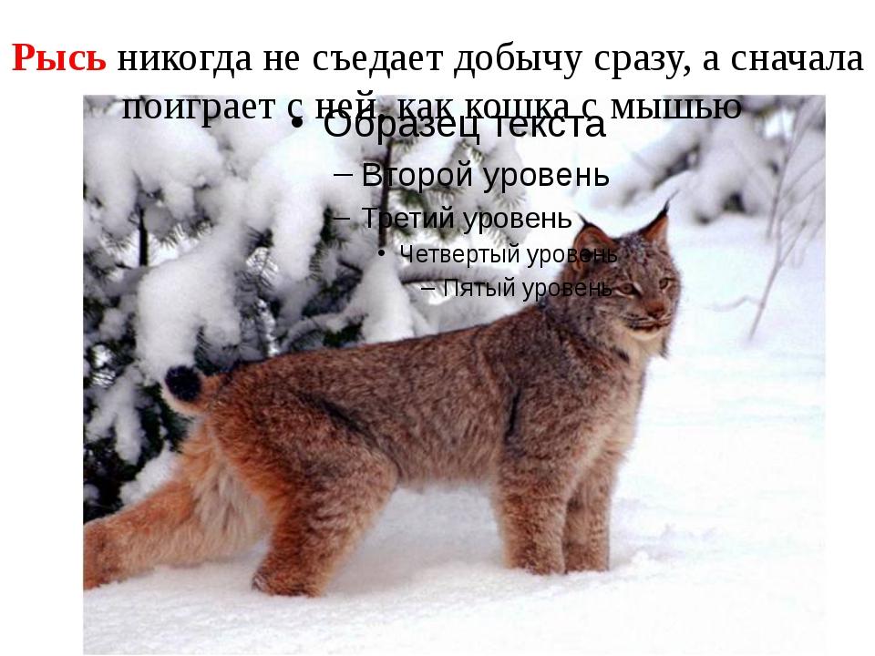 Рысь никогда не съедает добычу сразу, а сначала поиграет с ней, как кошка с м...