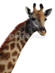 http://static8.depositphotos.com/1543828/1005/i/450/depositphotos_10053627-Giraffe-neck-and-head-on-white-background.jpg