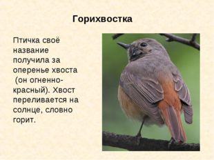 Горихвостка Птичка своё название получила за оперенье хвоста (он огненно-крас