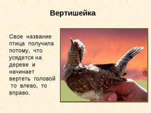 Вертишейка Свое название птица получила потому, что усядется на дереве и начи