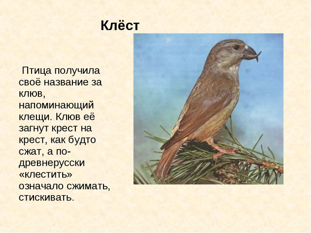 Клёст Птица получила своё название за клюв, напоминающий клещи. Клюв её з...
