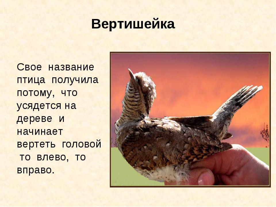 Вертишейка Свое название птица получила потому, что усядется на дереве и начи...