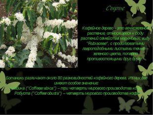 Кофейное дерево - это вечнозеленое растение, относящееся к роду растений семе