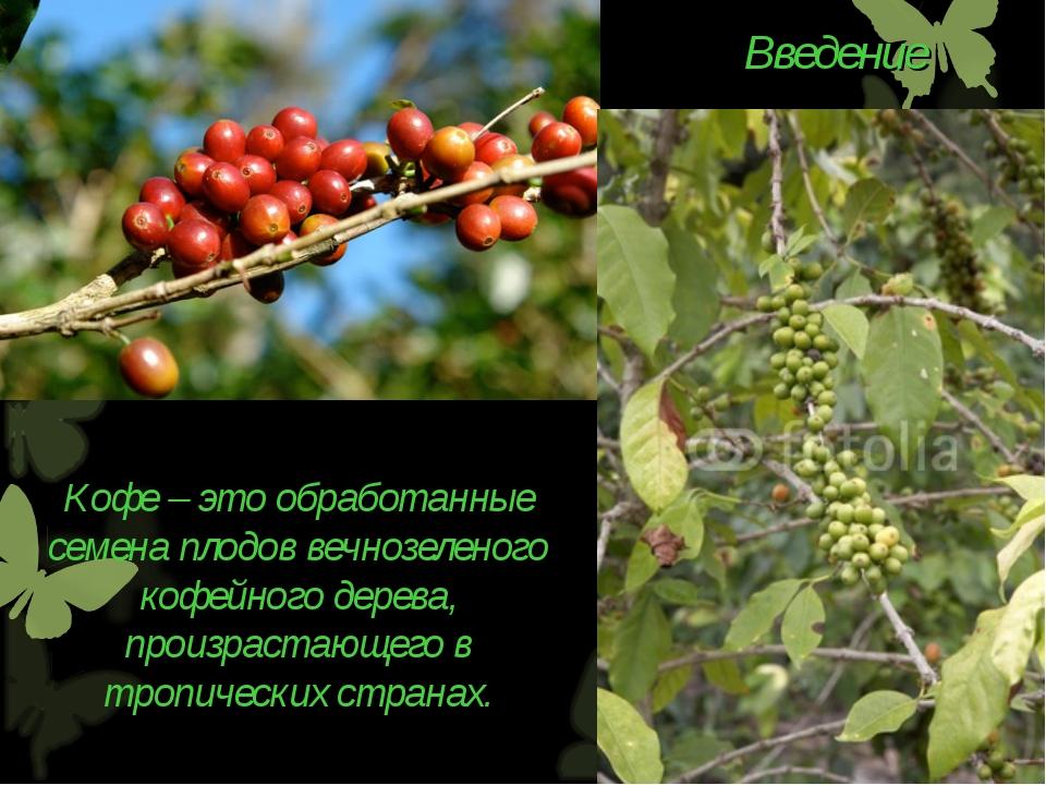 Кофе – это обработанные семена плодов вечнозеленого кофейного дерева, произра...