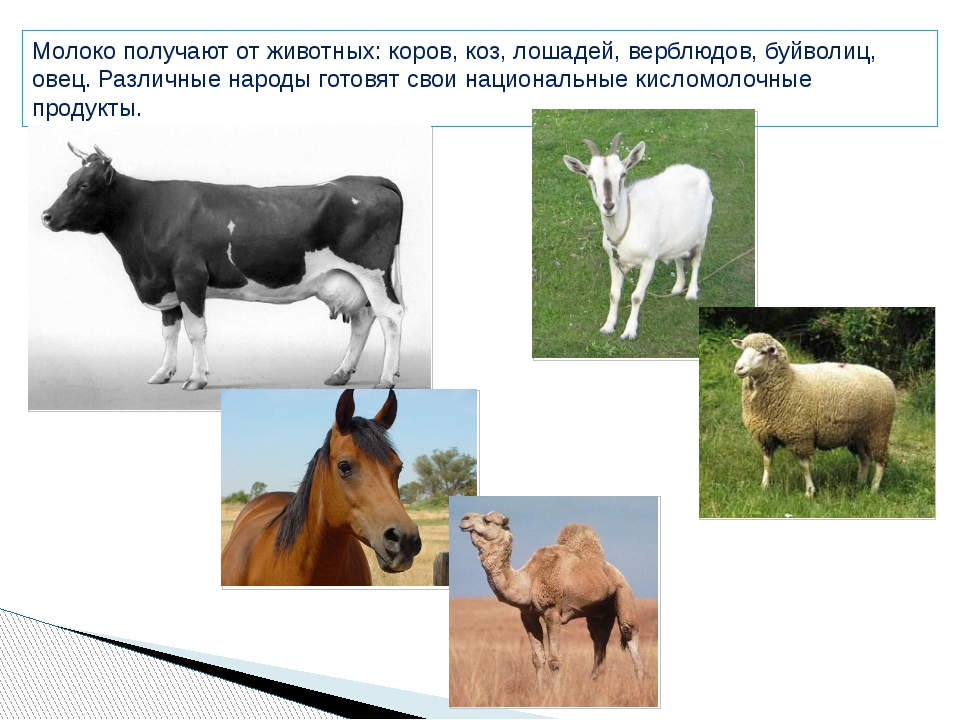 Молоко получают от животных: коров, коз, лошадей, верблюдов, буйволиц, овец....