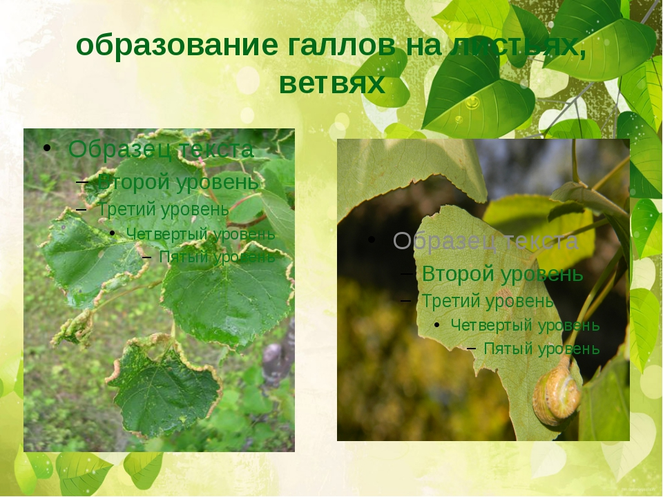 образование галлов на листьях, ветвях