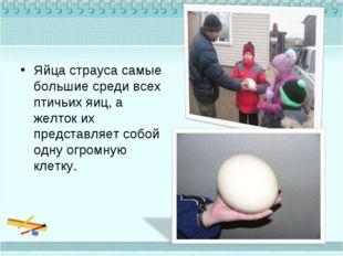 Яйца страуса самые большие среди всех птичьих яиц, а желток их представляет с