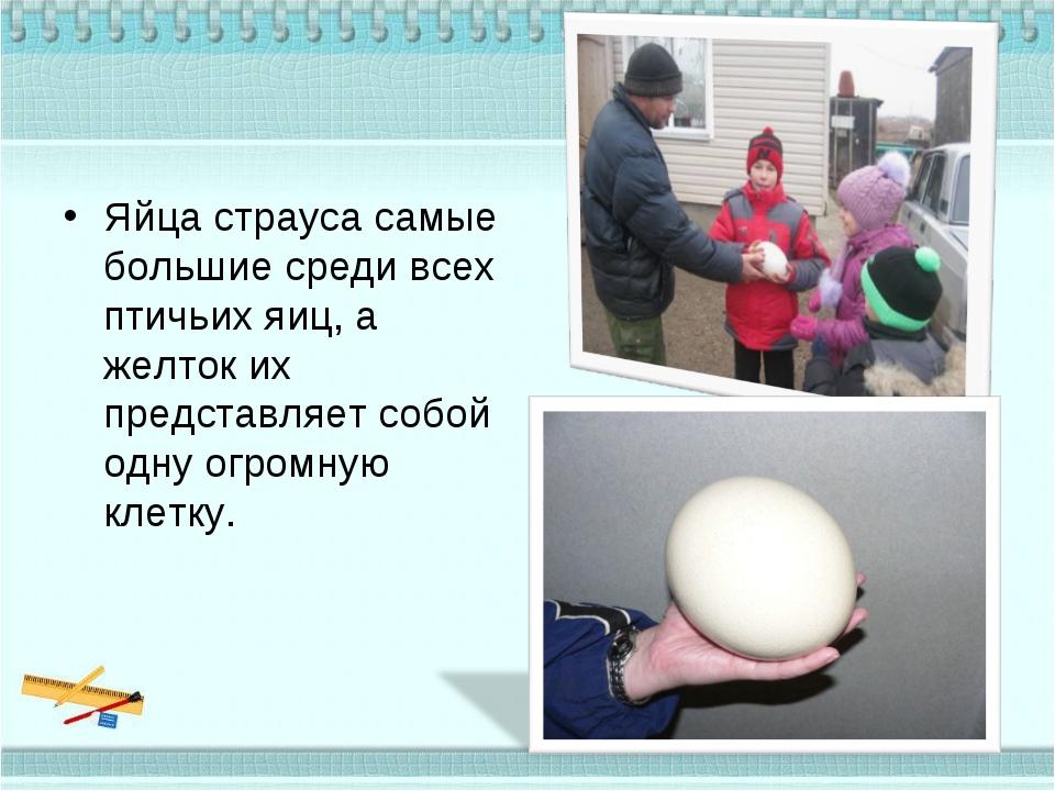 Яйца страуса самые большие среди всех птичьих яиц, а желток их представляет с...