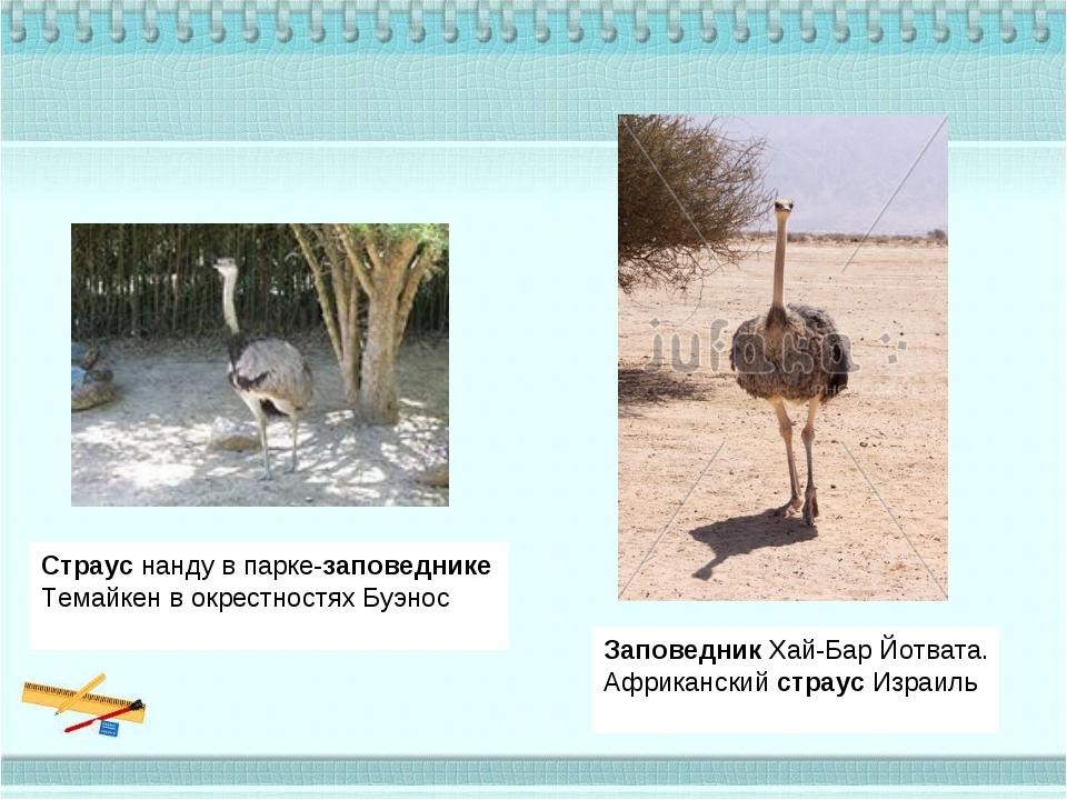 Страуснанду в парке-заповеднике Темайкен в окрестностях Буэнос ЗаповедникХ...