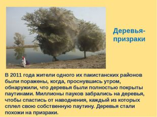 Деревья- призраки В 2011 года жители одного их пакистанских районов были пора