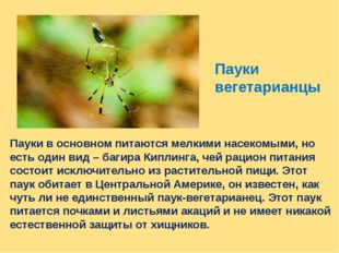Пауки в основном питаются мелкими насекомыми, но есть один вид – багира Кипли
