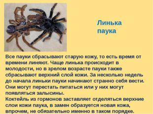 Линька паука Все пауки сбрасывают старую кожу, то есть время от времени линяю