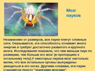 Мозг пауков Независимо от размеров, все пауки плетут сложные сети. Оказываетс