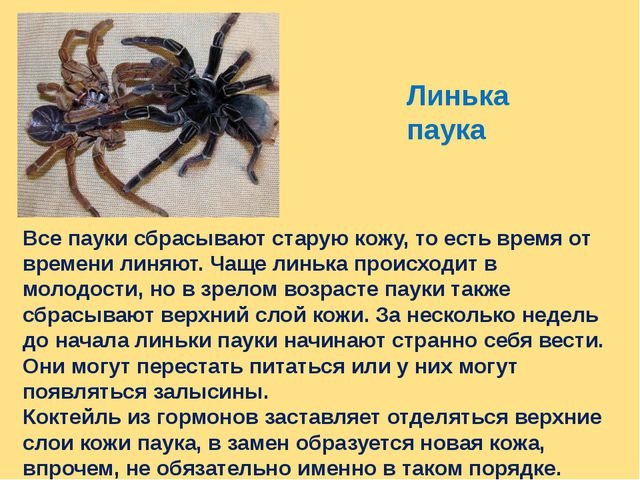 Линька паука Все пауки сбрасывают старую кожу, то есть время от времени линяю...
