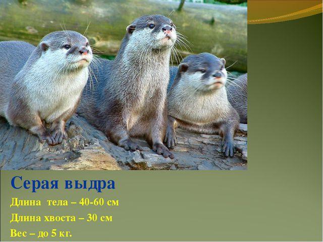 Серая выдра Длина тела – 40-60 см Длина хвоста – 30 см Вес – до 5 кг.