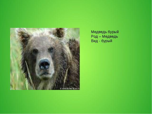 Медведь бурый Род – Медведь Вид - бурый
