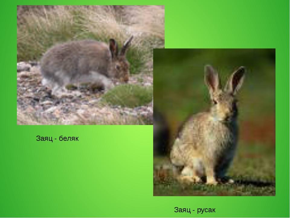 Заяц - беляк Заяц - русак
