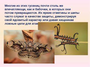 Многие из этих гусениц почти столь же впечатляющи, как и бабочки, в которых о