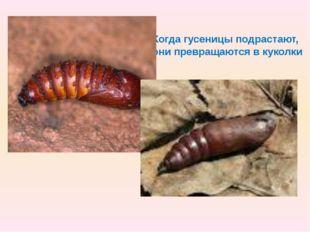 Когда гусеницы подрастают, они превращаются в куколки