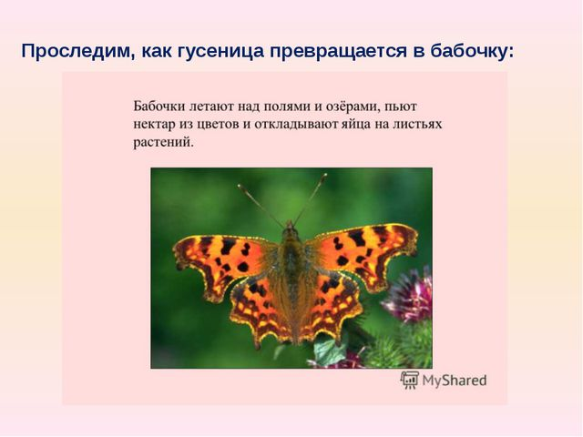 Проследим, как гусеница превращается в бабочку: