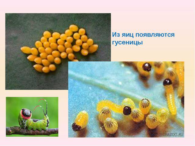 Из яиц появляются гусеницы