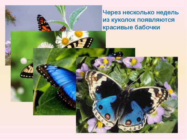 Через несколько недель из куколок появляются красивые бабочки