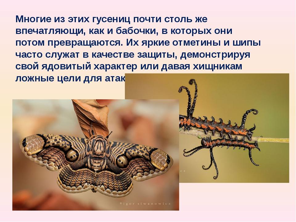 Многие из этих гусениц почти столь же впечатляющи, как и бабочки, в которых о...