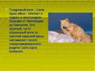 Тундровый волк - Canis lupus albus - обитает в тудрах и лесотундрах Евразии о