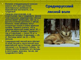 Среднерусский лесной волк Вопреки утвердившемуся мнению именно этот волк дост