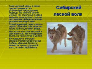 Сибирский лесной волк Тоже крупный зверь, в своих средних размерах не уступаю