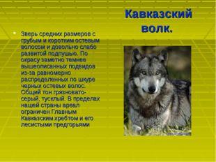 Кавказский волк. Зверь средних размеров с грубым и коротким остевым волосом и