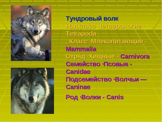 Тундровый волк Надкласс Четвероногие - Tetrapoda, Класс ·Млекопитающие - Mamm...