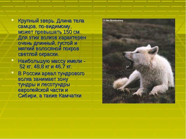 Крупный зверь. Длина тела самцов, по-видимому, может превышать 150 см. Для эт...
