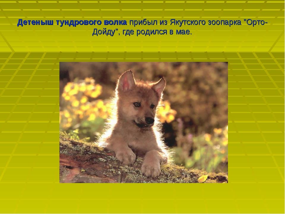 """Детеныш тундрового волка прибыл из Якутского зоопарка """"Орто-Дойду"""", где родил..."""