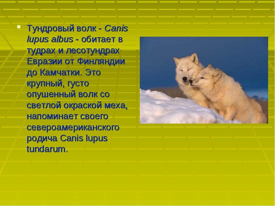 Тундровый волк - Canis lupus albus - обитает в тудрах и лесотундрах Евразии о...