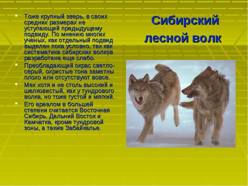 Сибирский лесной волк Тоже крупный зверь, в своих средних размерах не уступаю...