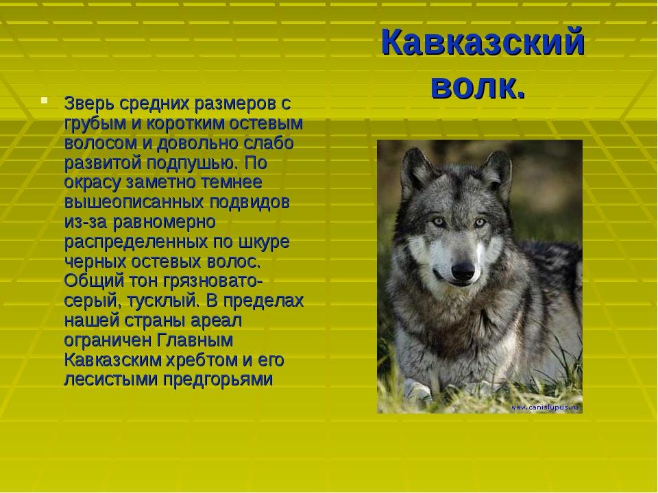 Кавказский волк. Зверь средних размеров с грубым и коротким остевым волосом и...