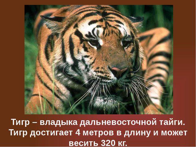 Тигр – владыка дальневосточной тайги. Тигр достигает 4 метров в длину и может...