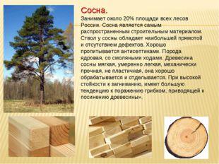 Сосна. Занимает около 20% площади всех лесов России. Сосна является самым рас