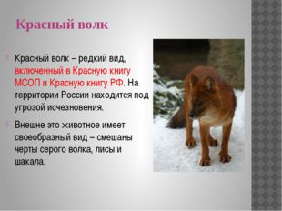Красный волк Красный волк – редкий вид, включенный в Красную книгу МСОП и Кра