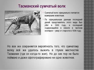 Тасманский сумчатый волк Сумчатый волк официально считается вымершим животным