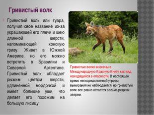 Гривистый волк Гривистый волк или гуара, получил свое название из-за украшающ