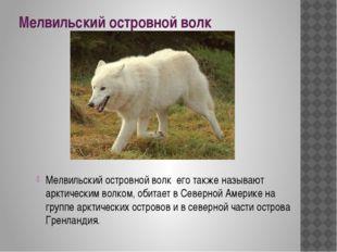Мелвильский островной волк Мелвильский островной волк его также называют аркт