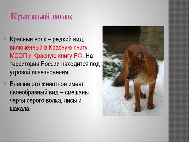 Красный волк Красный волк – редкий вид, включенный в Красную книгу МСОП и Кра...