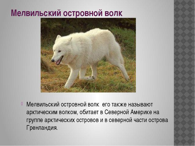 Мелвильский островной волк Мелвильский островной волк его также называют аркт...